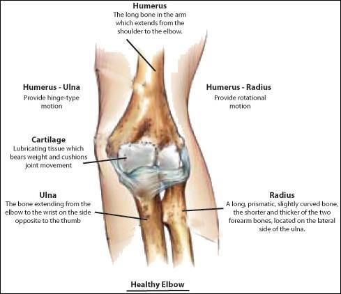 Healthy Elbow Anatomy, Rockville, Maryland